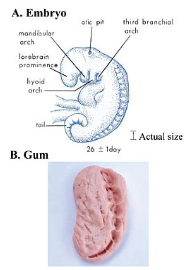 embryo-and-gum