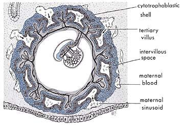 suspended-embryo-in-womb